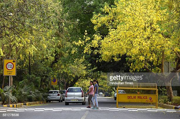 Amaltas also known as the golden shower trees seen in full bloom on May 10 2016 in New Delhi India