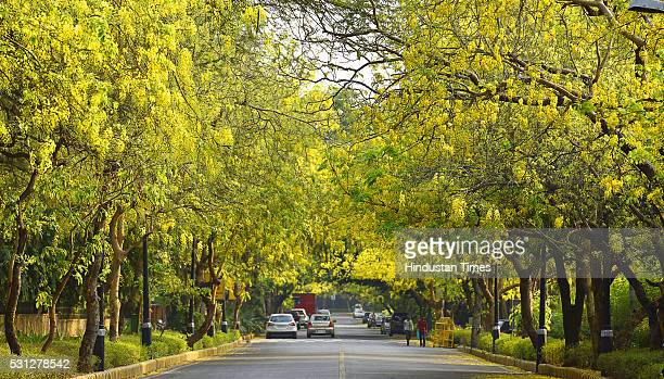 Amaltas also known as the golden shower trees seen in full bloom on May 13 2016 in New Delhi India