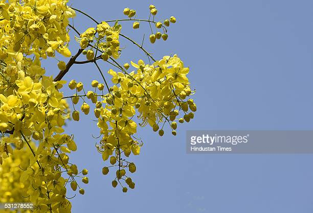 Amaltas also known as the golden shower trees seen in full bloom on May 12 2016 in New Delhi India