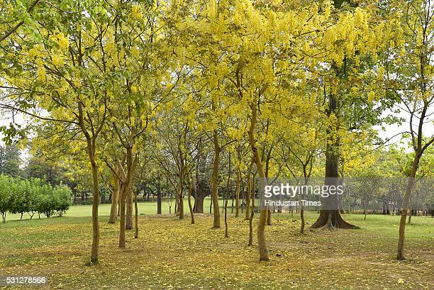 Amaltas also known as the golden shower trees seen in full bloom on May 11 2016 in New Delhi India