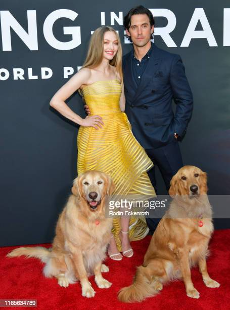Amanda Seyfried and Milo Ventimiglia attend the premiere of 20th Century Fox's The Art of Racing in the Rain at El Capitan Theatre on August 01 2019...