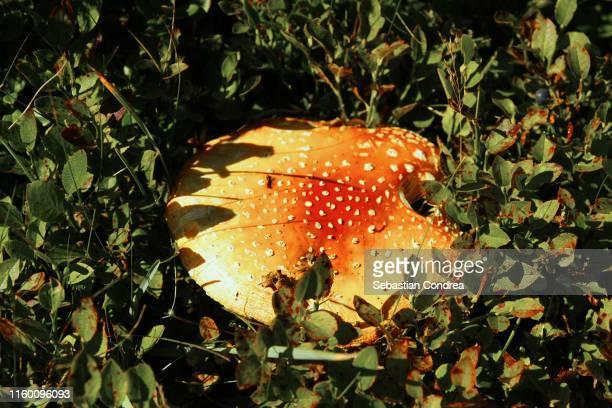 amanita muscaria mushrooms in garden, poisonous mushrooms in botanical garden, cluj-napoca, transylvania, romania. - muscari armeniacum stock pictures, royalty-free photos & images