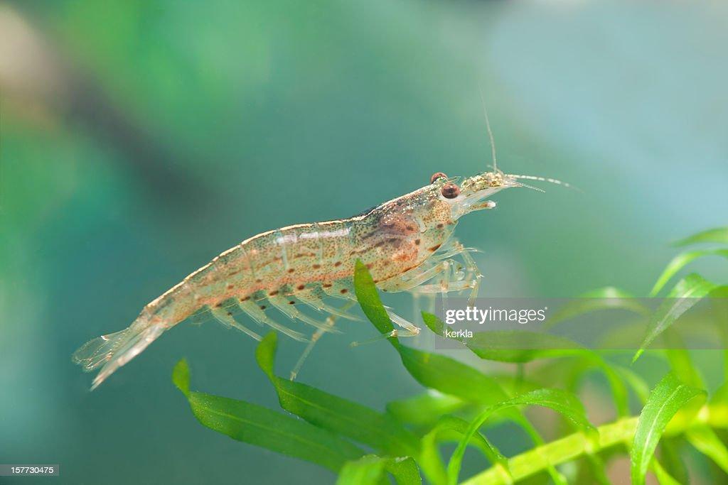 Amano ( Caridina japonica ) dwarf shrimp : Stock Photo