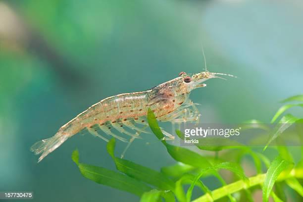 Amano ( Caridina japonica ) dwarf shrimp