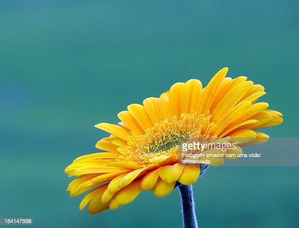 amarela flores - fotógrafo stock photos and pictures