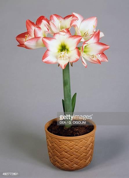 Amaryllis Amaryllidaceae