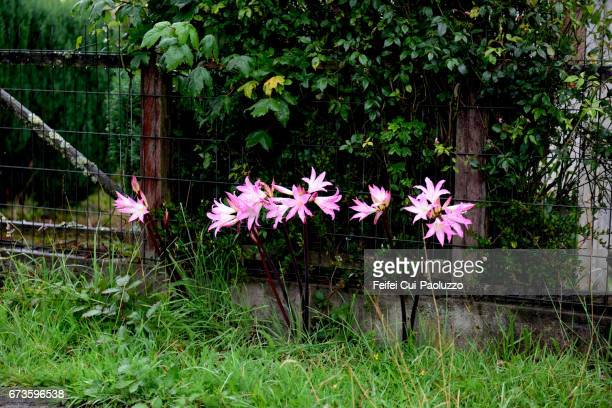 Amaryllis belladonna flowers at Quinchao of Chiloe Island, Southern Chile