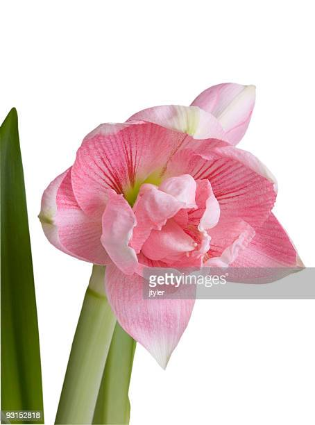 Amaryllis fleur