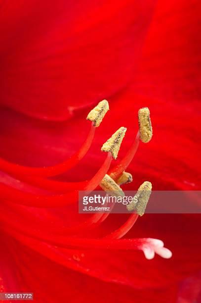 Amaryllis fleur gros plan