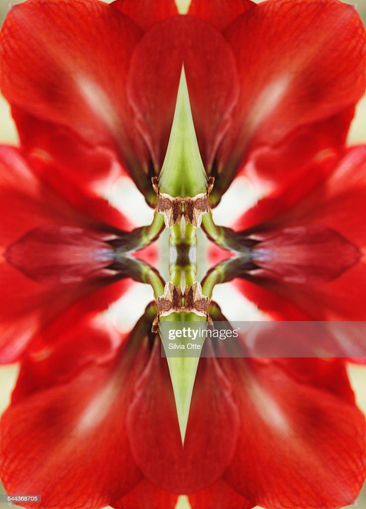 Amaryllis flower : Stock Photo