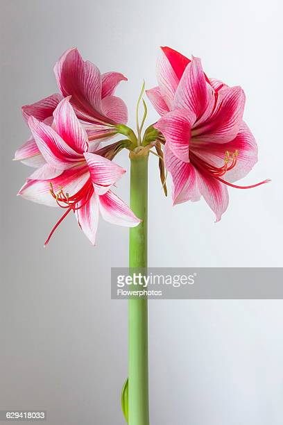 Amaryllis Hippeastrum 'Gervase' One stem with striped flowers deep magenta petals and white highlights Long curled stamen and stigma Against a...