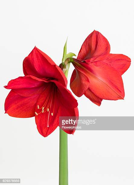 Amaryllis Hippeastrum 'Red Lion' Two red flowers on a long stem against a white background
