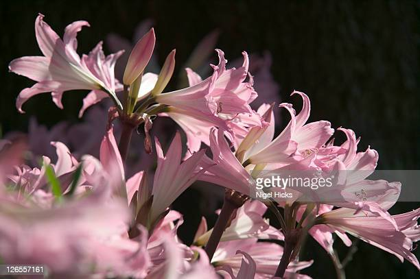 Amaryllis lilies in flower in the Formal Gardens at Mt Edgcumbe Country Park, Cremyll, Cornwall.