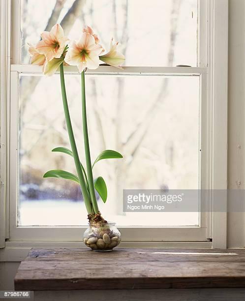 Amaryllis on windowsill