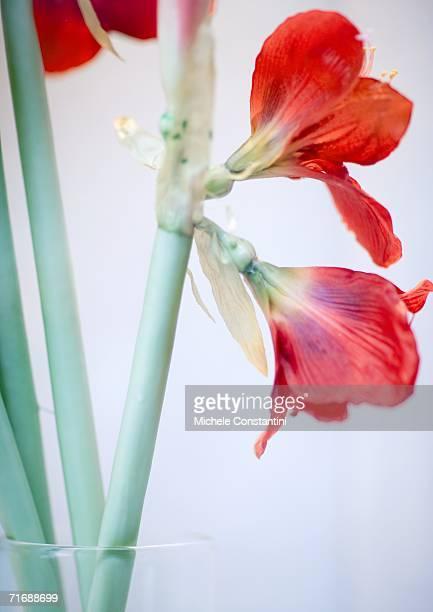 amaryllis - amaryllis stock pictures, royalty-free photos & images