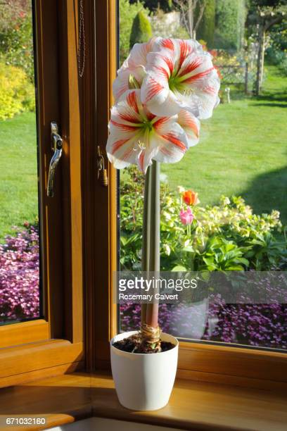 Amaryllis with large red and white flowers in pot on windowsill.