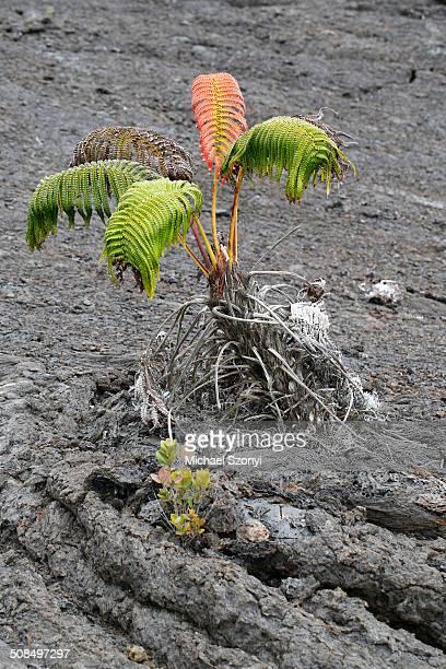 ama'u fern -sadleria cyatheoides-, with a red scar, according to legend, the place where demigod kamapua'a was struck by the fire goddess pele with hot lava, mauna ulu, big island, hawaii, usa - pele goddess stock pictures, royalty-free photos & images