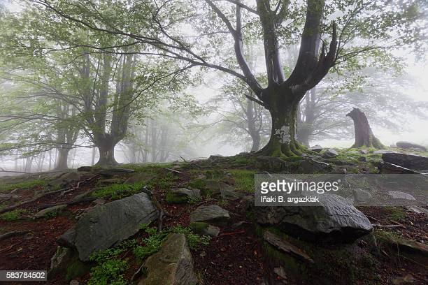 amazing beech forest into the mist