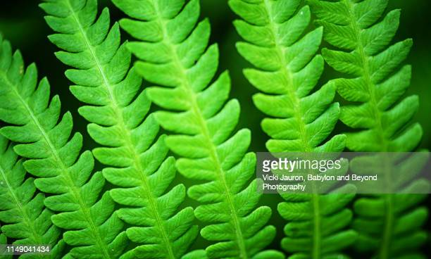 amazing bright green detail of ferns in bloom in east hampton, long island. - east hampton stock pictures, royalty-free photos & images