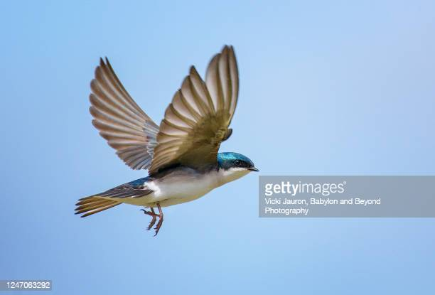 amazing close up of tree swallow with wings up against blue sky - pájaro fotografías e imágenes de stock