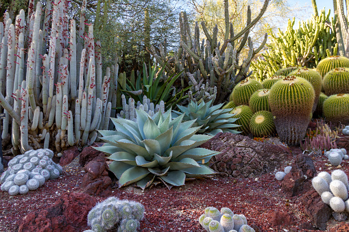 Amazing desert cactus garden with multiple types of cactus 943535646