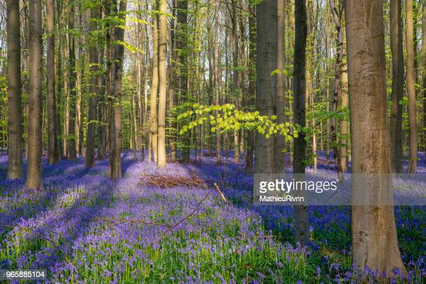 amazing forest of bluebells : hallerbos - waterloo iowa stock pictures, royalty-free photos & images