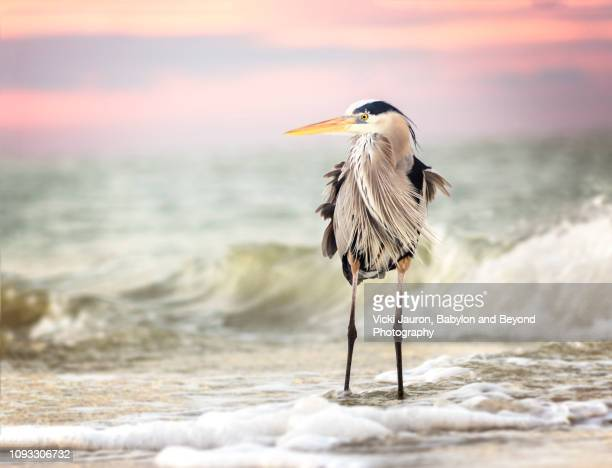 amazing great blue heron at sunrise against sea and pink sky at fort myers beach, florida - wader bird stock photos and pictures