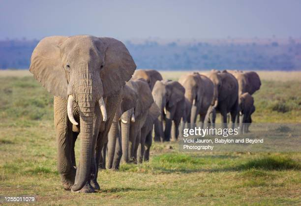 amazing line of elephant family marching in order at amboseli, kenya - animal themes stock pictures, royalty-free photos & images