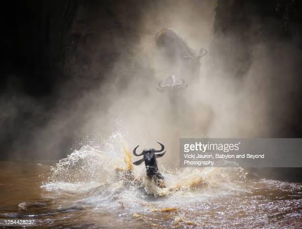 amazing migration scene as wildebeest splash through mara river - kenya stock pictures, royalty-free photos & images