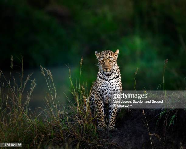 amazing portrait of leopard illuminated at sunrise in masai mara, kenya - dark panthera stock pictures, royalty-free photos & images