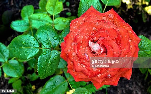 amazing rose - crmacedonio stockfoto's en -beelden