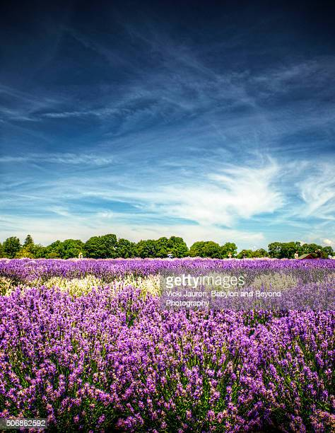 Amazing Scene of Lavender Blooms and Dramatic Blue Sky at Lavender by the Bay