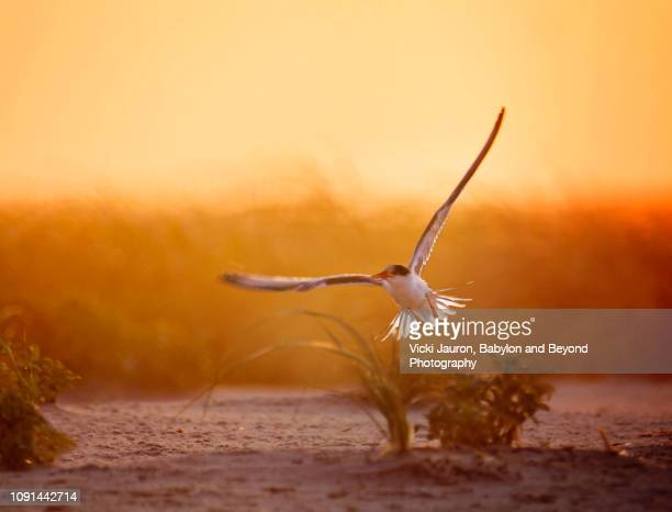 amazing sunrise scene with tern in elegant flight at nickerson beach, long island - rookery stock pictures, royalty-free photos & images
