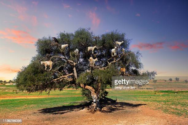 amazing tree climbing goats on argan tree in morocco - argan tree stock pictures, royalty-free photos & images