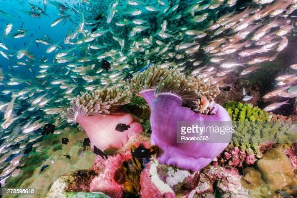 紫海アネモネを取り巻く驚くべき水中生物多様性 - スクーバダイビングの視点 ストックフォトと画像