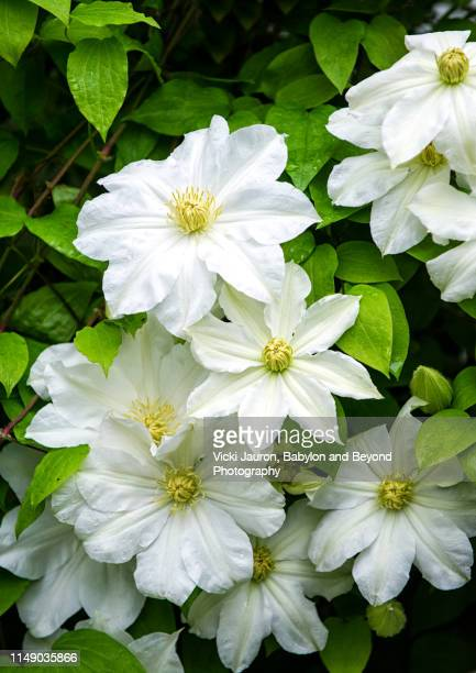 amazing vertical of white clematis against green leaves - east hampton stock pictures, royalty-free photos & images