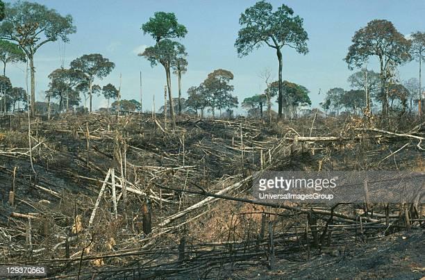 Amazon Acre Brazil nut trees left after deforestation by slash and burn