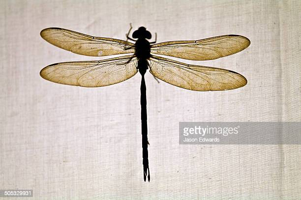 The delicate veined wings of a dragonfly backlit by a globe behind a cotton sheet hanging on a line.