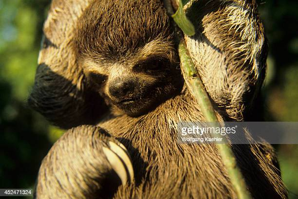 Amazon Brazil Sloth Hanging On Branch Of Tree In Tropical Rain Forest