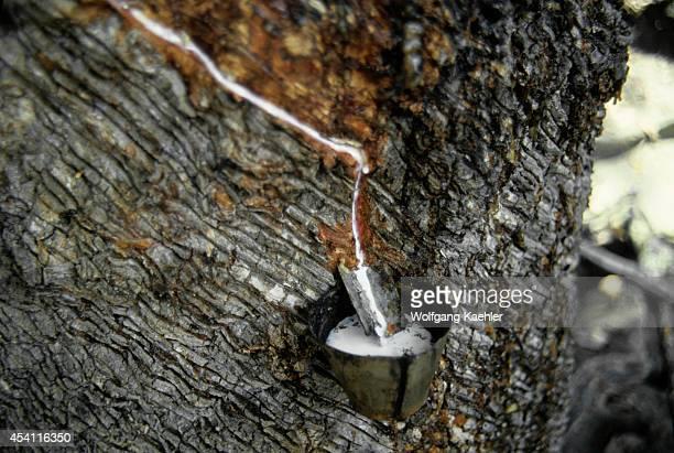 Amazon Brazil Tropical Rain Forest Rubber Tree Plantation Closeup Of Latex