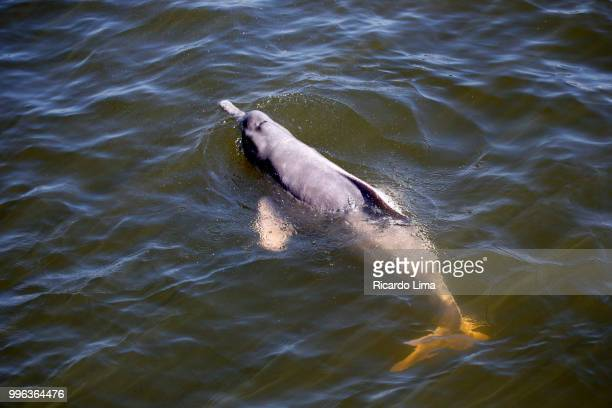 amazon dolphins swimming on the waters of tapajos river - delfín amazónico fotografías e imágenes de stock