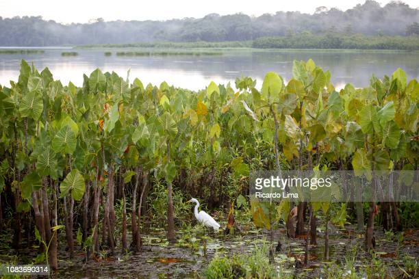 amazon fauna - egret in a lake, para state, brazil - lima animal stock pictures, royalty-free photos & images