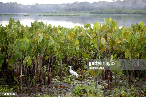 Amazon Fauna - Egret In A Lake, Para State, Brazil