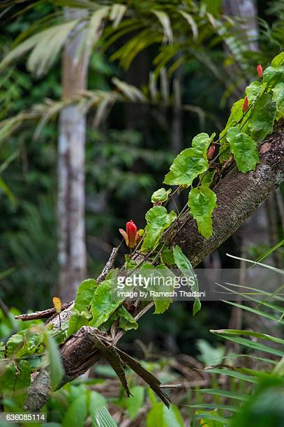 Amazon flora - wild vine growing on a fallen tree