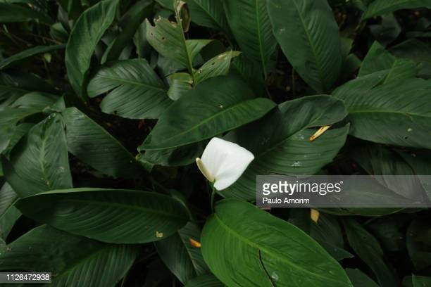 amazon forest in the heart of the city of belém,brazil - peace lily stock pictures, royalty-free photos & images