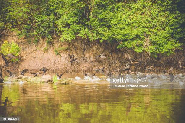 amazon herons - freshwater bird stock photos and pictures