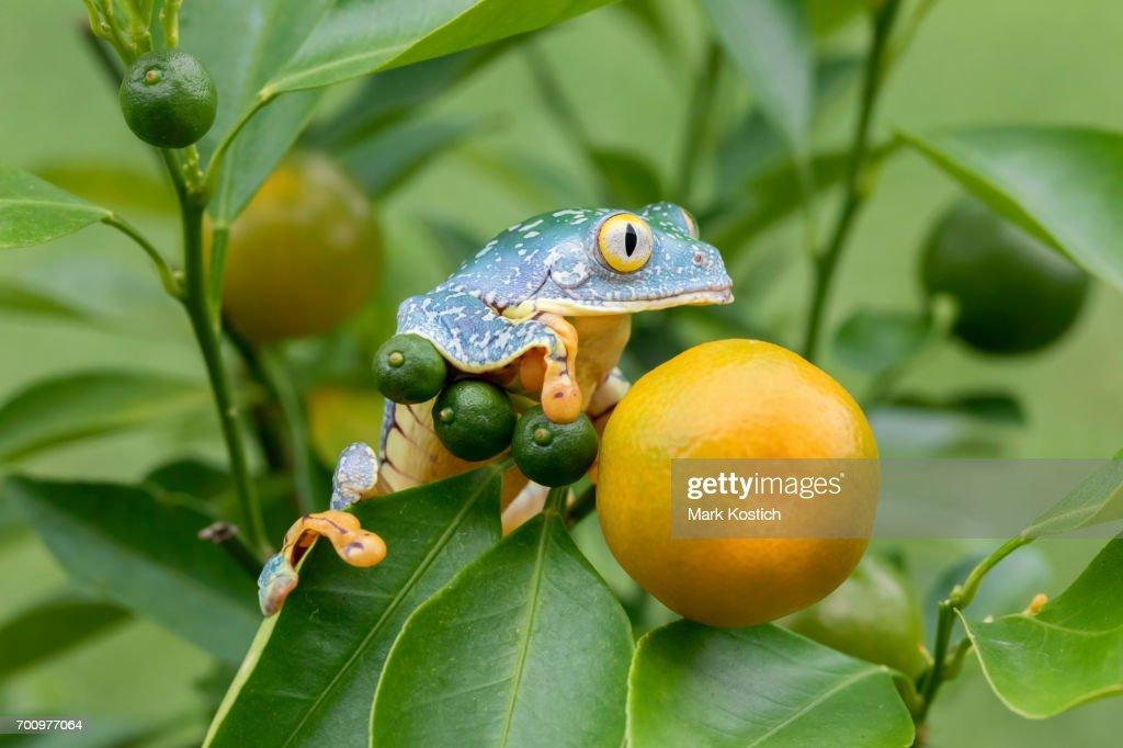 Amazon Leaf Frog /Fringe Tree Frog (Cruziohyla craspedopus) in Fruit Tree - Horizontal : Stock Photo