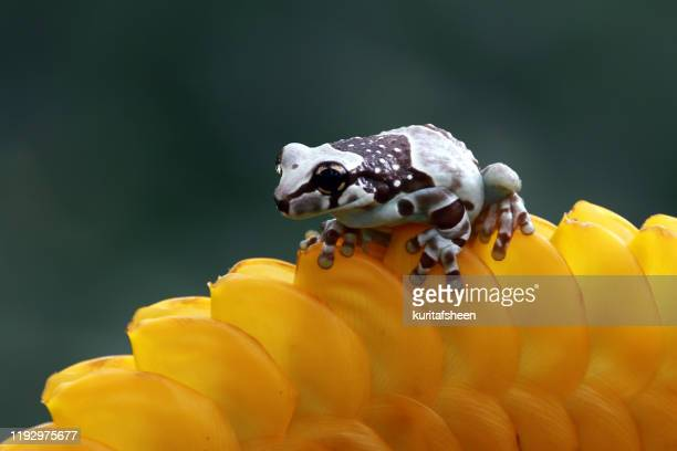 amazon milk frog on a yellow flower, indonesia - tree frog stock pictures, royalty-free photos & images