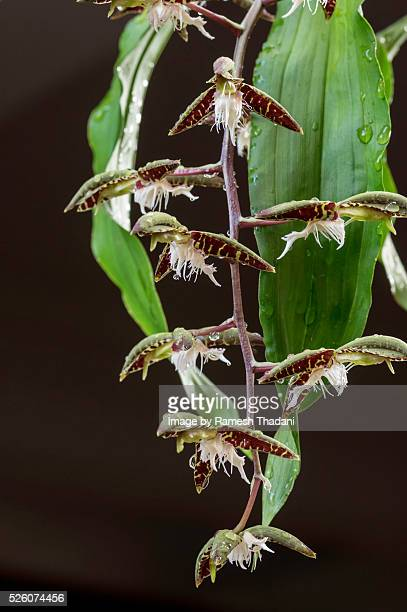 Amazon Orchid (Catasetum)