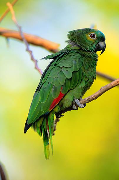 Amazon parrot (Amazona sp.) Pantanal, Brazil, close-up